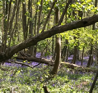 Stakes WI Bluebells