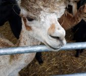Visit to Petlake Alpacas 2017